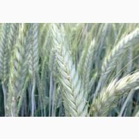 Семена озимого тритикале на зерно и зеленую массу