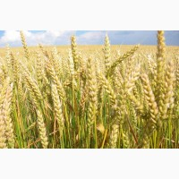 Семена пшеницы мягкой яровой
