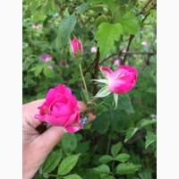 Продаю сухие лепестки крымской эфиромасличной розы