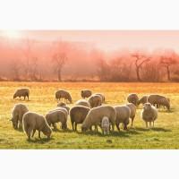 Продаю овец мясных пород живым весом