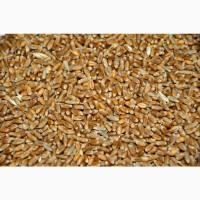 Пшеница 5 класс, 800 тонн