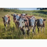 Продаю бычков мясных пород на доращивание. 170 руб/кг